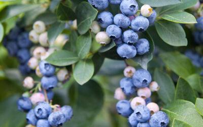 Fertilization schedule – Blueberry