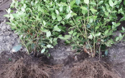 Planting-hole application CRF trial Delphy – Viburnum Tinus