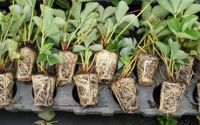 Strawberry tray-plants – It's all about timing!