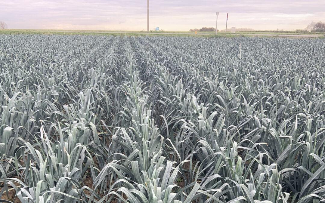 Granustar® CRF guarantees a good quality in winter leek